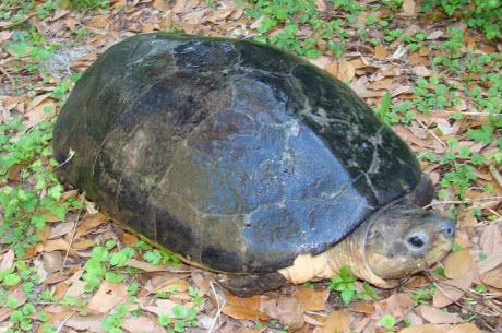 Malaysian giant turtle