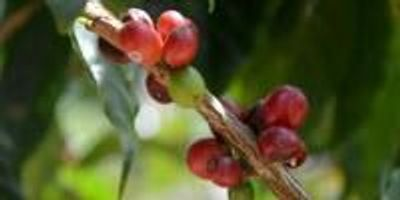 New Texas A&M Center to Protect Key International Coffee Industry