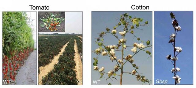 Tomato and Cotton