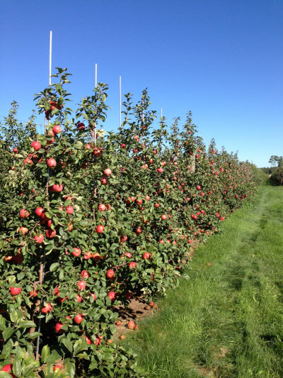 Honeycrisp orchard in Western New York