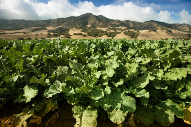 A field of celery grows in the Salinas Valley