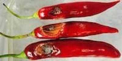 New Chilli Pathogens Discovered in Australia