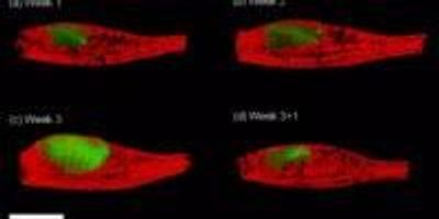 Fluorescent 3-D Imaging Technique Tracks Disease Models without Surgery