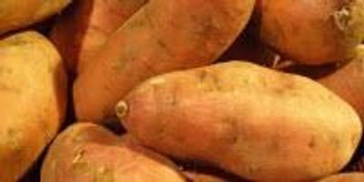 Sweet Potato Crop Shows Promise as Feed and Fuel