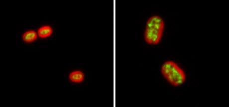 Synechococcus 7002 cells