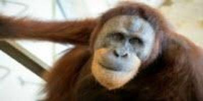 Orangutan Gives Clues to the Origins of Human Speech