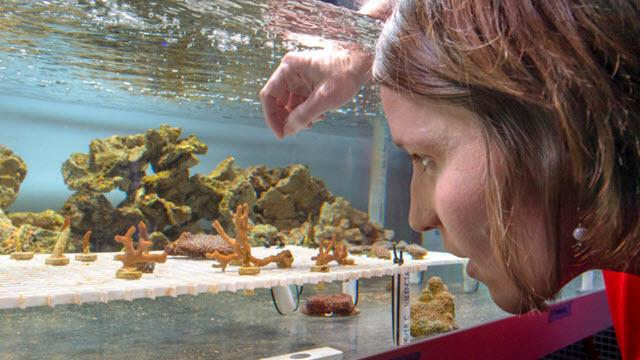 Carly Kenkel works with a brown coral, Montipora digitata