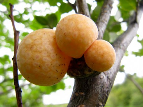 Tree galls on Patagonian beech trees