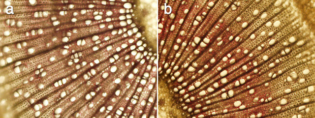 Microscopic images of wood tissue from aspen trees