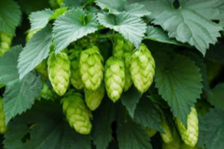 Fighting Breast Cancer with hops