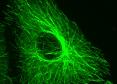 microtubulin-image