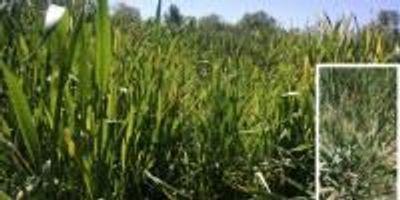 New Study Aims to Stop Disease That Threatens Kansas Wheat