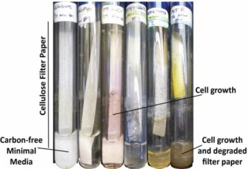 Streptomyces bacteria
