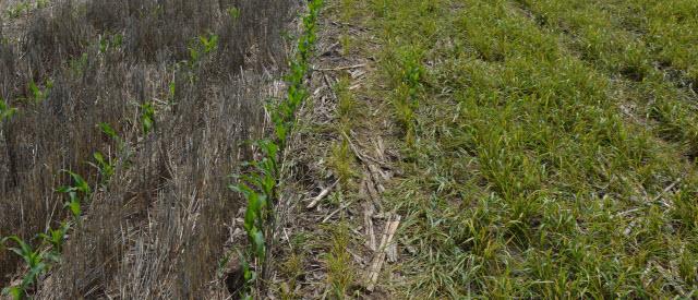wheat field with wheat streak mosaic virus