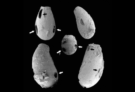 Half-moon shaped holes (black arrows) and circular holes in fossils