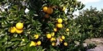 Nurseries Excited about Two New Early Valencia Orange Varieties from UF/IFAS