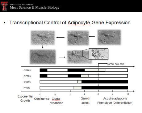 transcriptional control of adipocyte gene expression