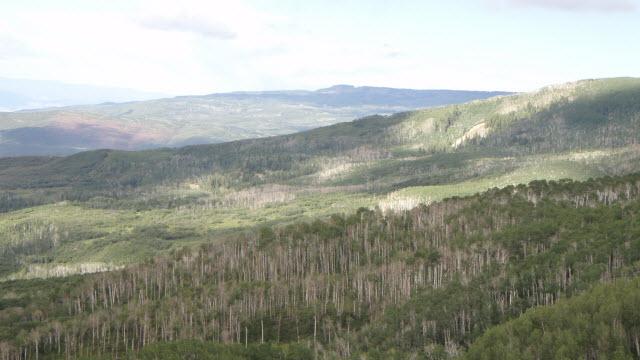 Trembling aspen trees killed by severe drought