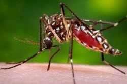 The Aedes aegypti mosquito